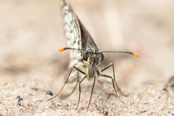 Stettiner Haff, MV 18.07.2015, Heteropterus morpheus