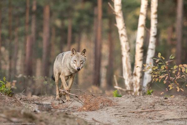 Sachsen 06.10.2018, Wolf