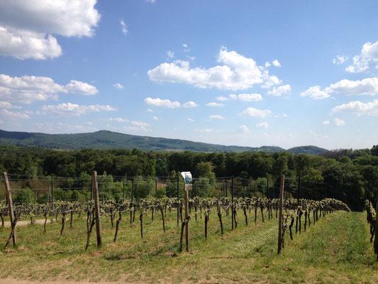 Blick auf den Herrnwingert am Fürstenlager. (©odenwaldlust.de)