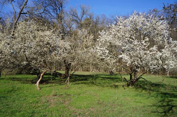 Die Kirschbäume stehen schon in prachtvoller Blüte. Rings um das Kirchberghäuschen laden die Weinberge und Streuobstwiesen zum Wandern ein. (©odenwaldlust)