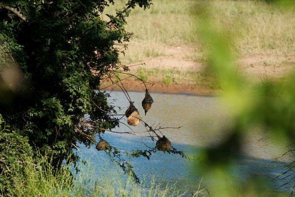 Vogelnester, Südafrika, 2017
