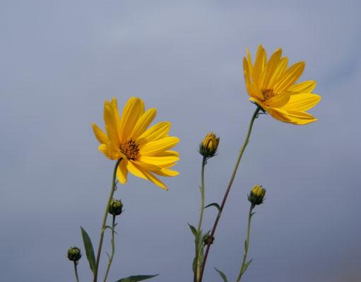 Wiesenblume, 2009