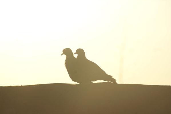 Tauben, Südafrika, 2017