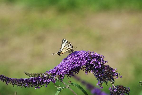 Buddleja mit Schmetterling, 2009