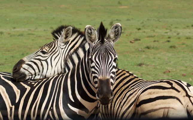 Safari, Südafrika, 2017