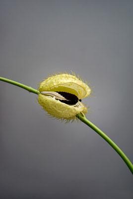 Choram`s Blume, 2011