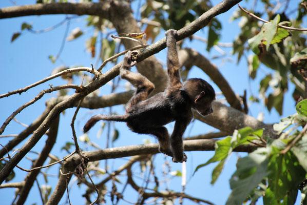 Pavian Baby im Arusha Nationalpark
