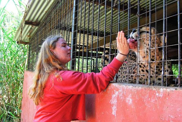Gepard auf der Makoa Farm