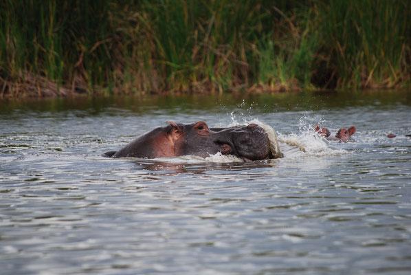 Flusspferd im Lake Jipe
