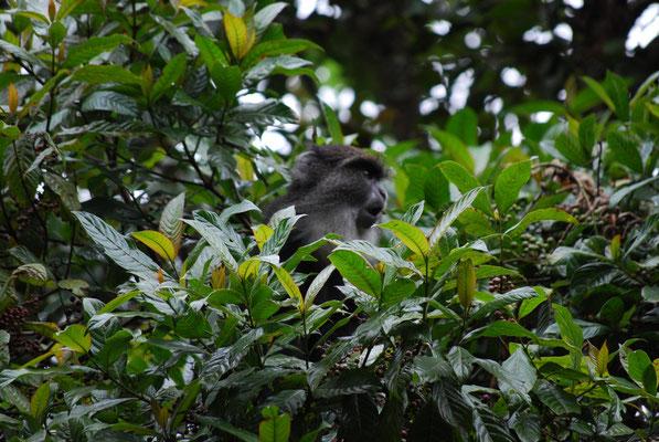 Blue monkey auf der Marangu Route