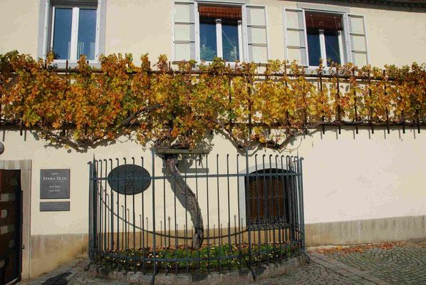 Die älteste Weinrebe der Welt