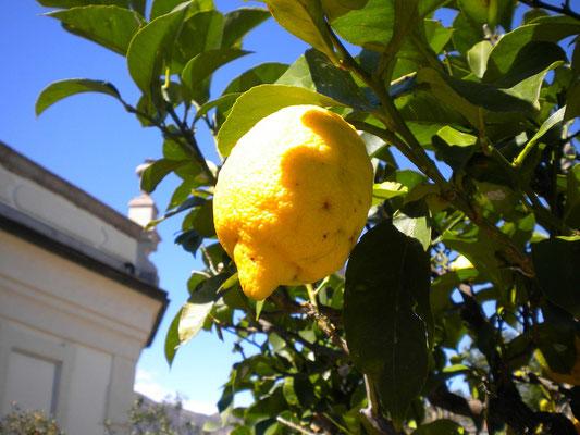 Zitronen im April