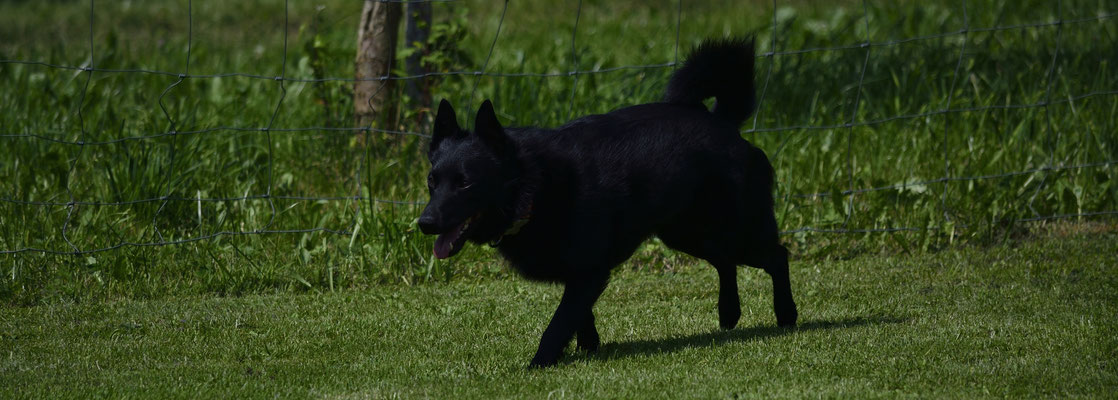 Odin (Schipperke)