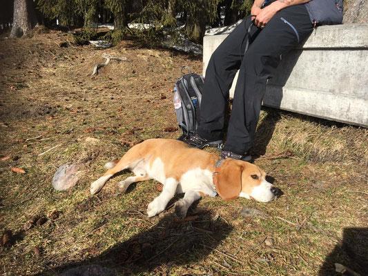 Barni (Beagle)