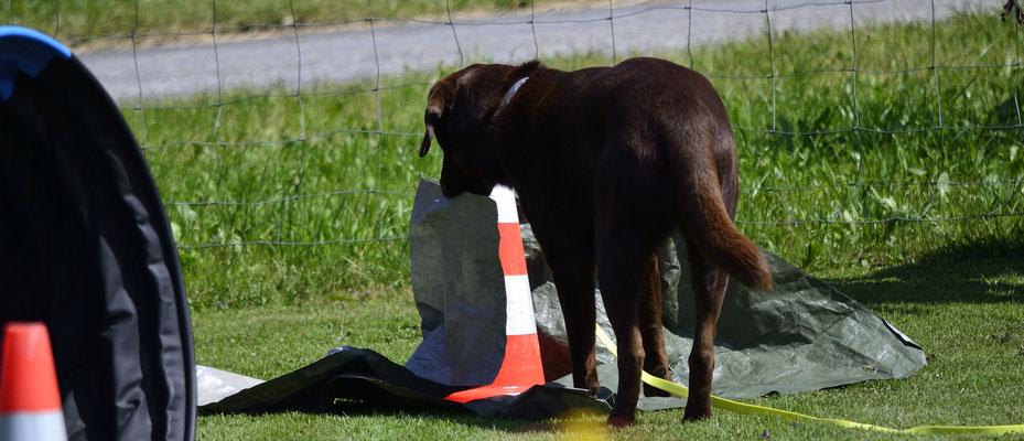 Kuno (Labrador Retriever