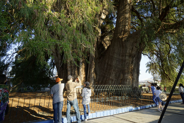 The Oldest and largest tree in the world