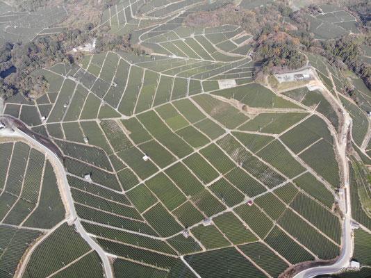 Yame, Tea Plantage
