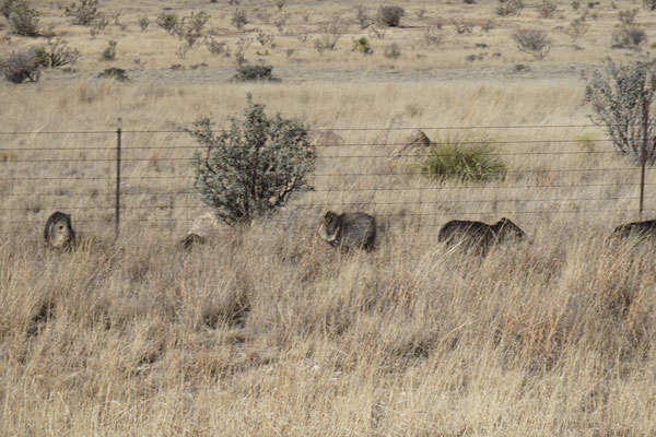 Wild pig family on the way
