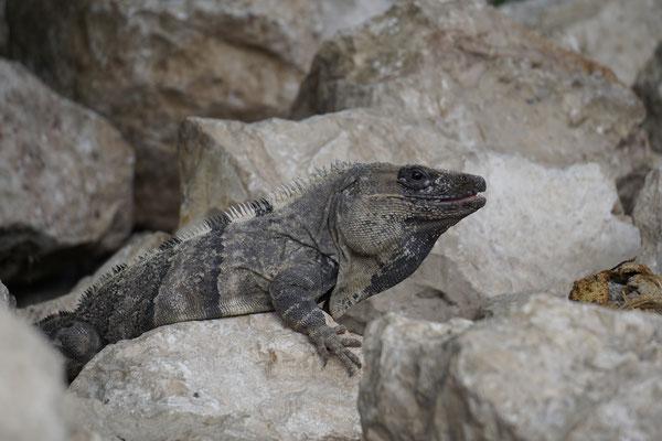 Iguana at Camping