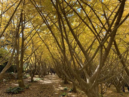 Tausend Ginko Bäume