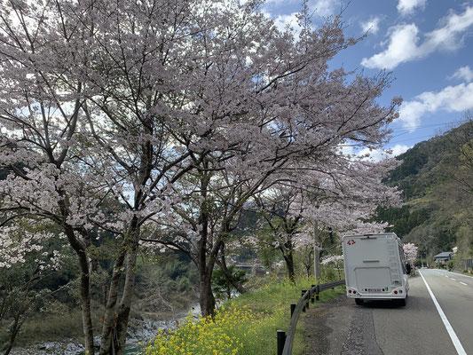 Tokushima, Sakura