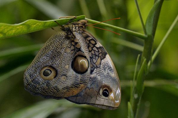 caligo illion ou papillon hibou