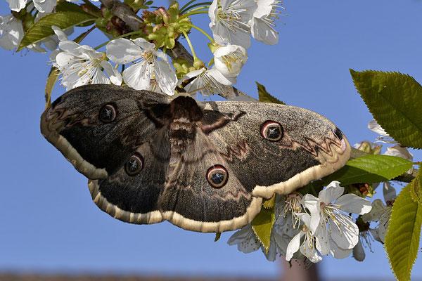 naissance du papillon vers fin avril debut mai