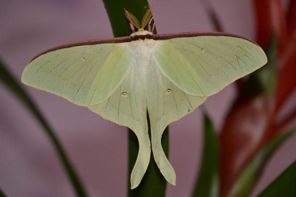 actias artemis papillon lune du japon
