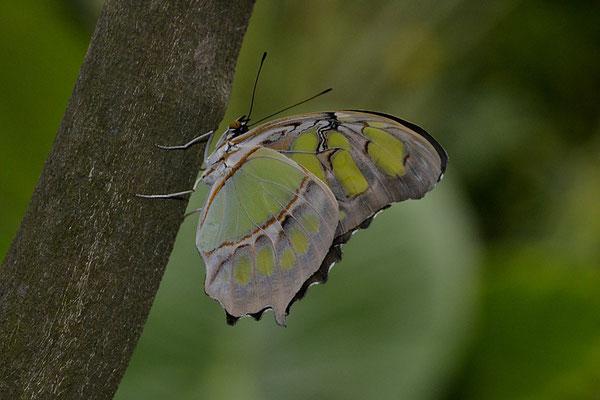 le philaethria