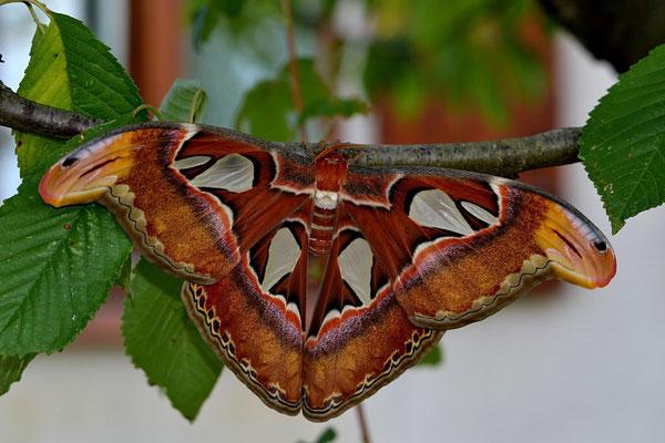 papillon attacus atlas envergure 26 cm en elevage .a l'etat sauvage jusqu'a 32cm