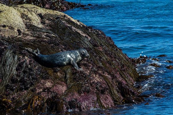 phoque gris de bretagne Réserve Naturelle des Sept Îles