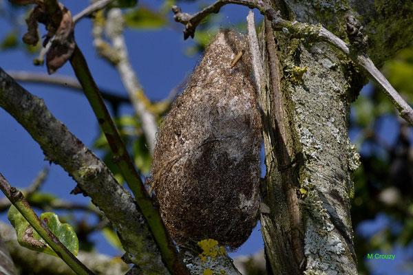 Cocon( De la naissance a la chrysalide environ 35 a 40 jours ce sont ecoulés)