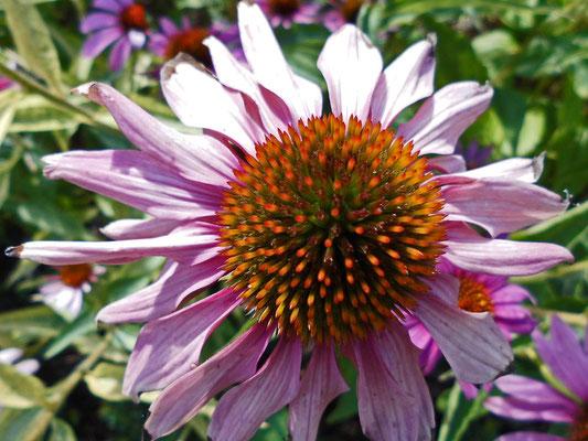 Sonnenhut - Echinacea-Hybr.