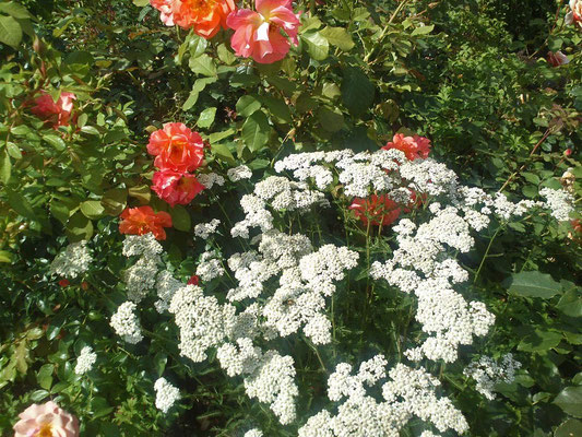 Rosen und Schafgarbe