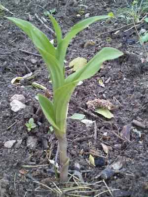 Unsere Orchidee ist wieder da! Großblättrige Stendelwurz