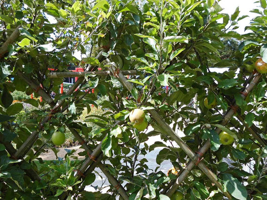 Apfelspalier