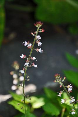 Hexenkrautblüte