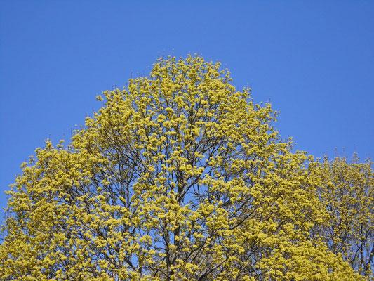 Frühlingslinden