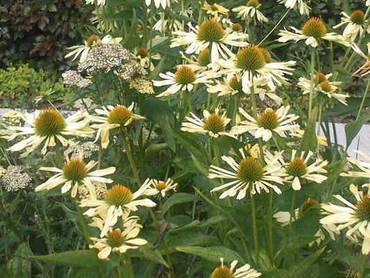Gelber Sonnenhut - Echinacea -Hybr. 'Sunrise'
