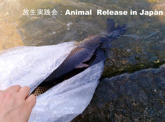 放生会、Saving almost getting killed fish、Animal release practice i,  Tokuzumi, 徳積み