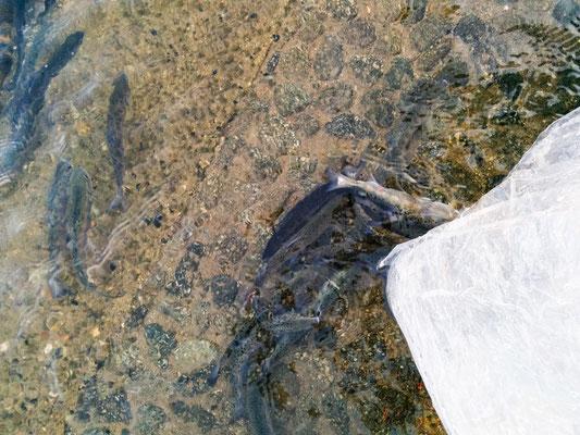 放生会、 生きた魚を助ける、Animal release practice in Japan, Tokubun, Tokuzumi, 徳積み