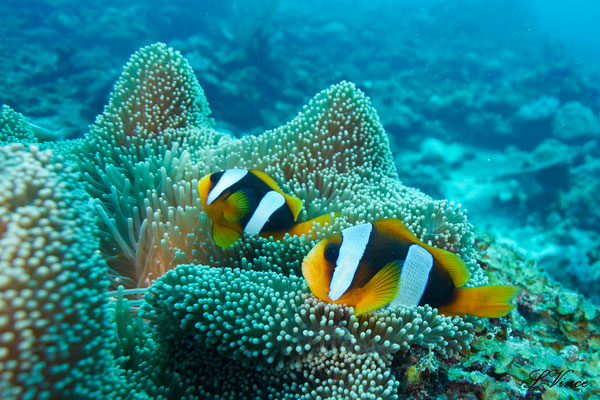 Poisson clown mada scuba club de plongée
