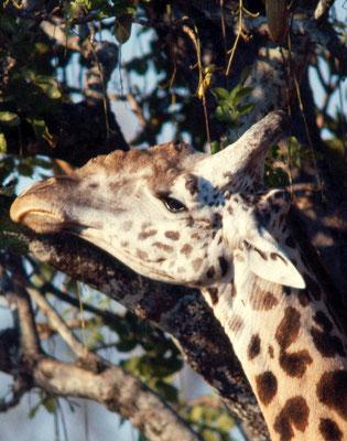 Giraffa - Zambia