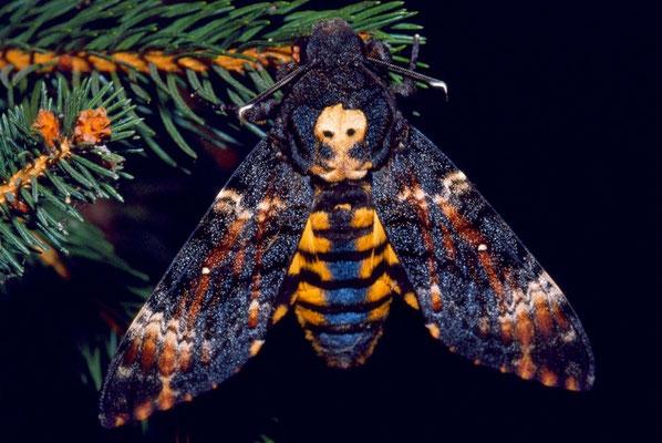 Acherontia Atropus