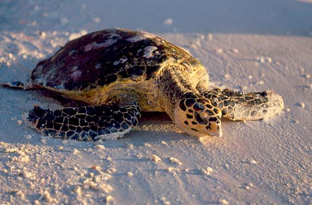 Tartaruga marina - Seychelles