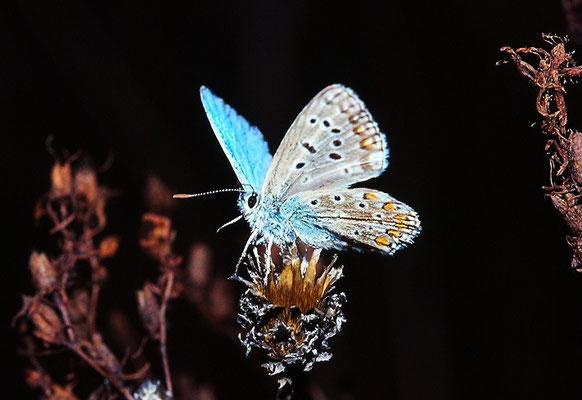 Polyammatus Icarus