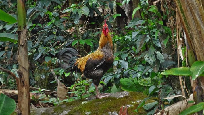 auch Hühner und Hahn gibt es am Haus im Urwald