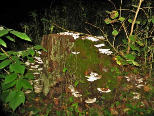 wir entdecken weiße Pilze an einem Baumrest