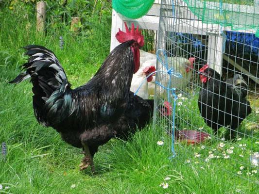 die Hühnerfamilie hat Kontakt zur kranken, ausgestoßenen Henne