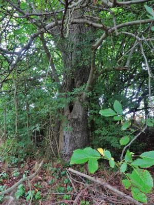 es hat geregnet, der Wallnussbaum lässt den Regentropfen gleich seine Früchte fallen